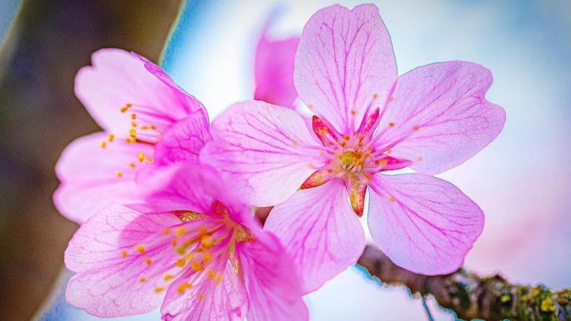 Jefferson Park Seattle Cherry Blossoms