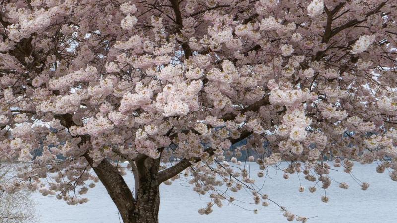 Cherry Blossoms in Seward Park