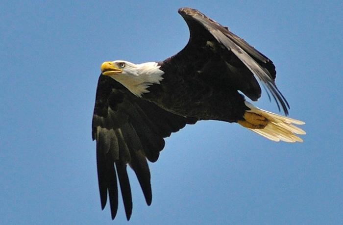Bald Eagle, Mason Neck State Park