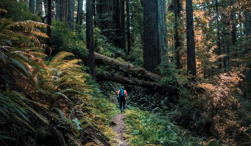 Hiker hiking on a trail surrounded by redwood trees