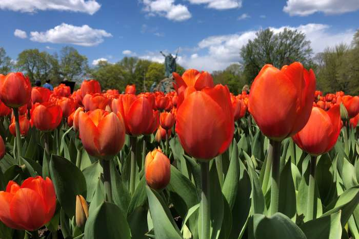 Washington Park tulips