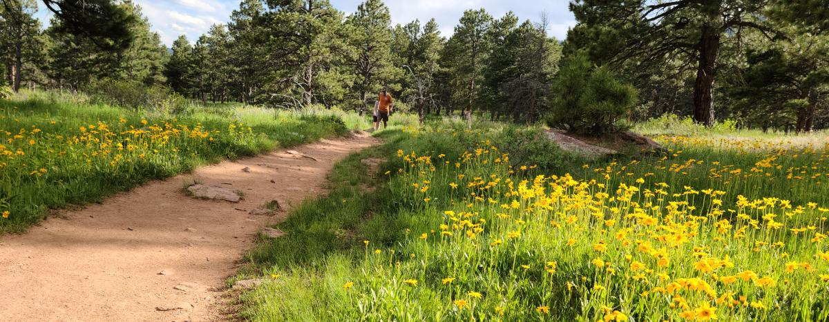 Yellow springtime wildflowers line a hiking trail outside of Boulder, CO.