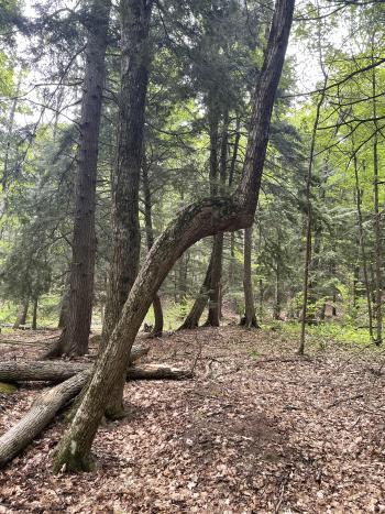 Indian Marker Tree at Leelanau State Park