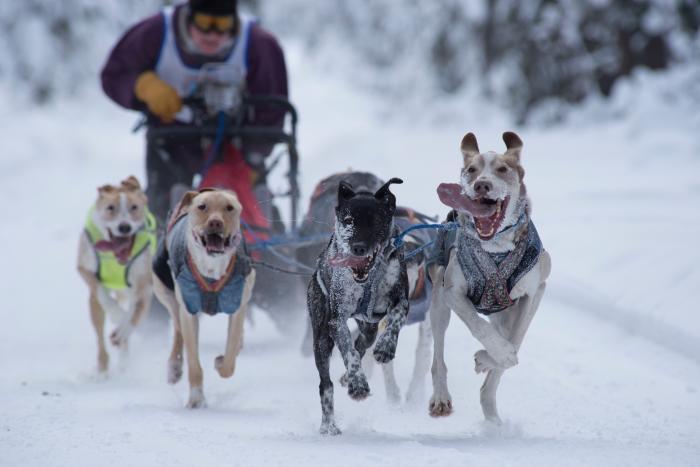Medium Close up of ONAC racing sled dog team