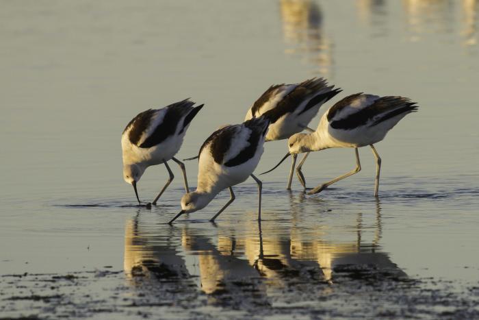 american avocets - bird watching sandy
