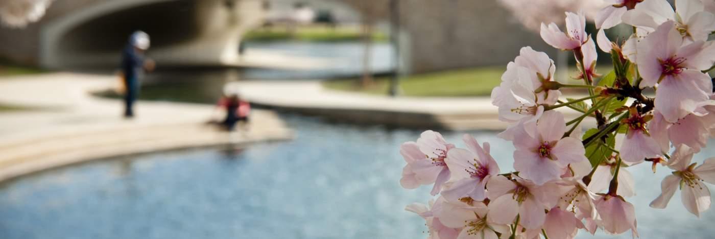 Cherry Blossom Big Spring Park