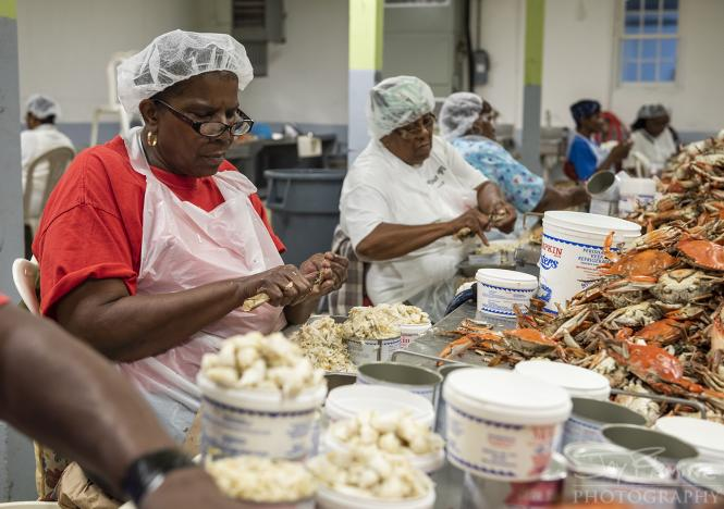 Women picking crabs at Metompkin Seafood in Crisfield, Maryland.