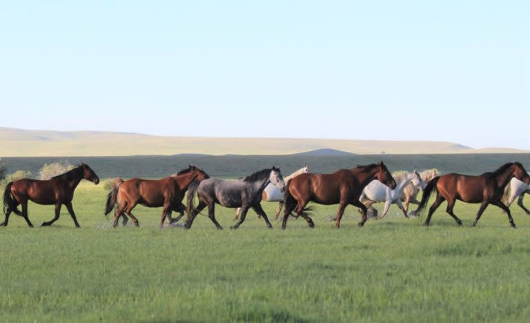 Mustangs on the prairie