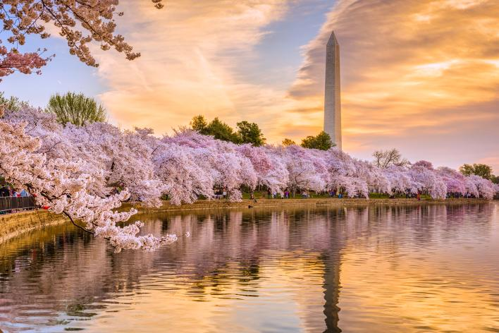 Washington DC Cherry Blossoms along the tidal basin