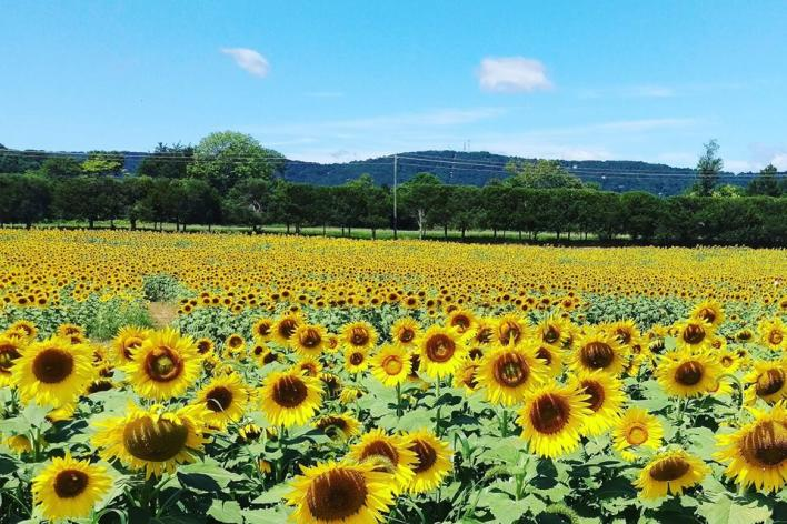 field of sunflowers at Burnside Farms