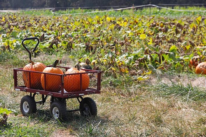 pumpkins in a wagon
