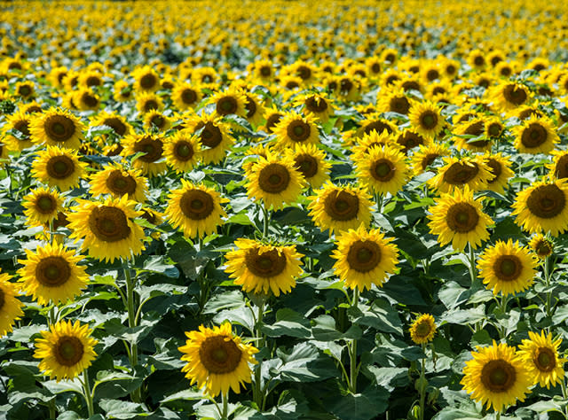 A photo of a field of sunflowers at Frederick Farms