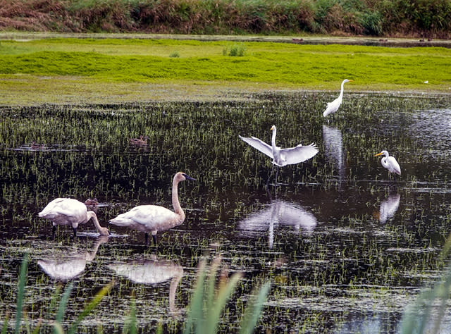 A photo of birds in a pond at Montezuma National Wildlife