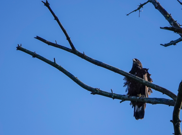 A Bald Eagle in a tree along the banks of Raquette River, Tupper Lake, NY