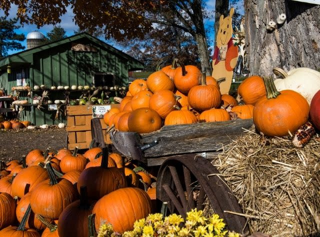 Pumpkins on display at Hahn Farm