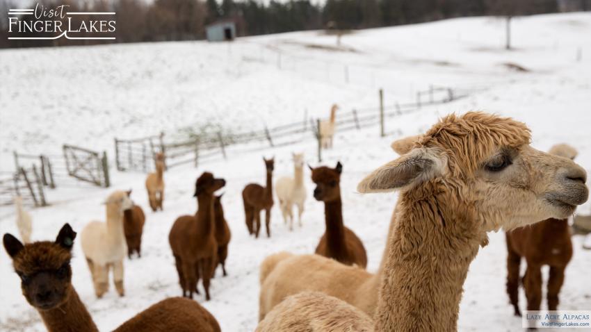 A heard of Alpacas in the winter