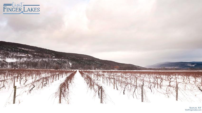 Vineyards under snow cover