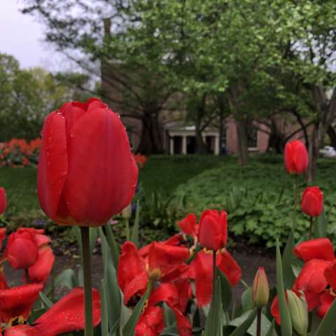 Ten Broeck Mansion tulips