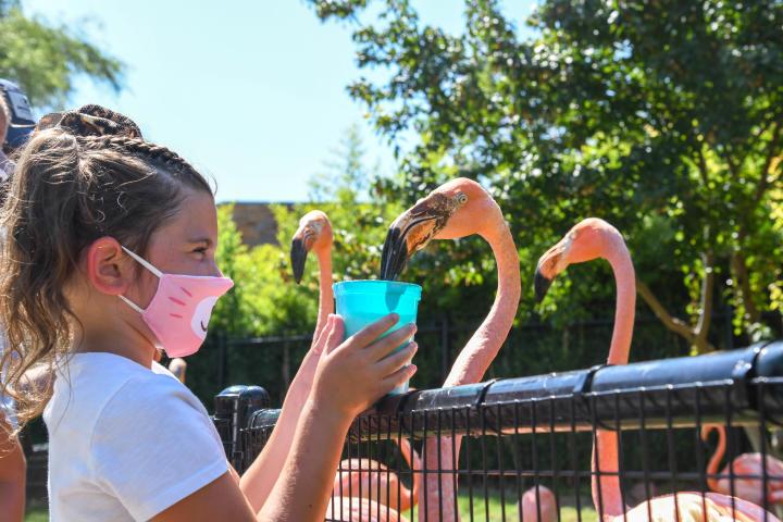 Girl feeding Flamingos during the Flamingo Mingle at the OKC Zoo