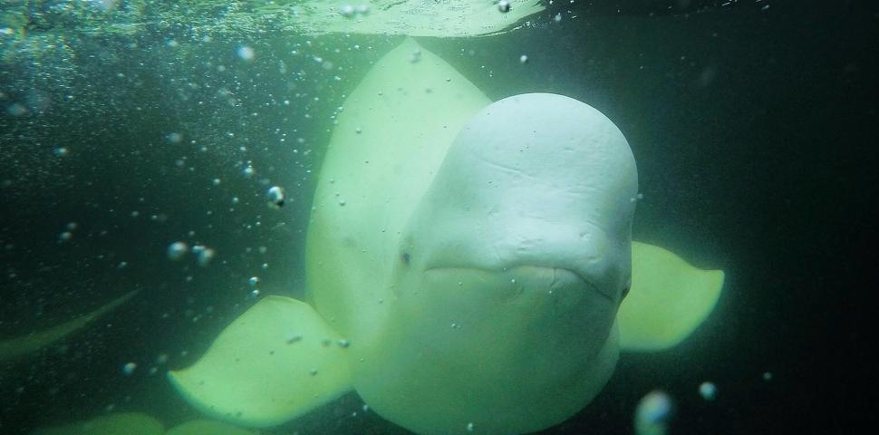 Meeting a beluga underwater face to face near Churchill