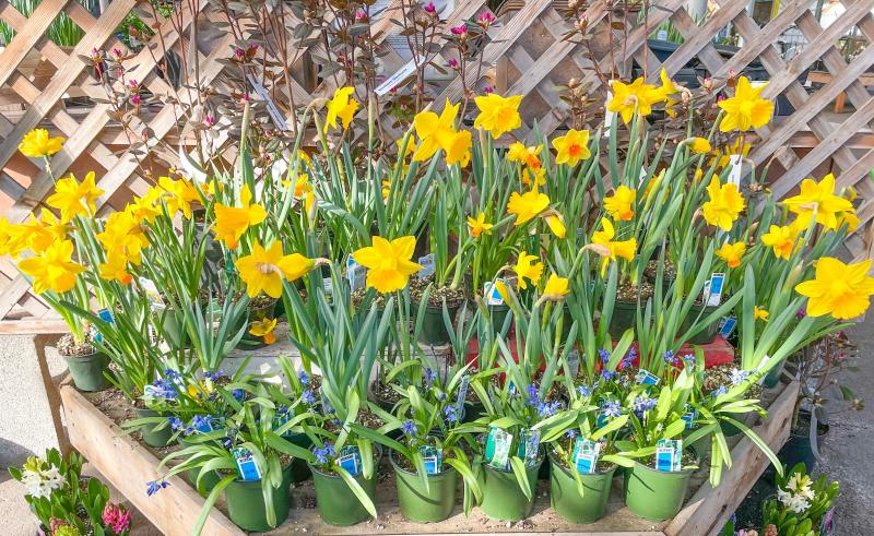 An arrangement of potted daffodils at Gray's Garden.