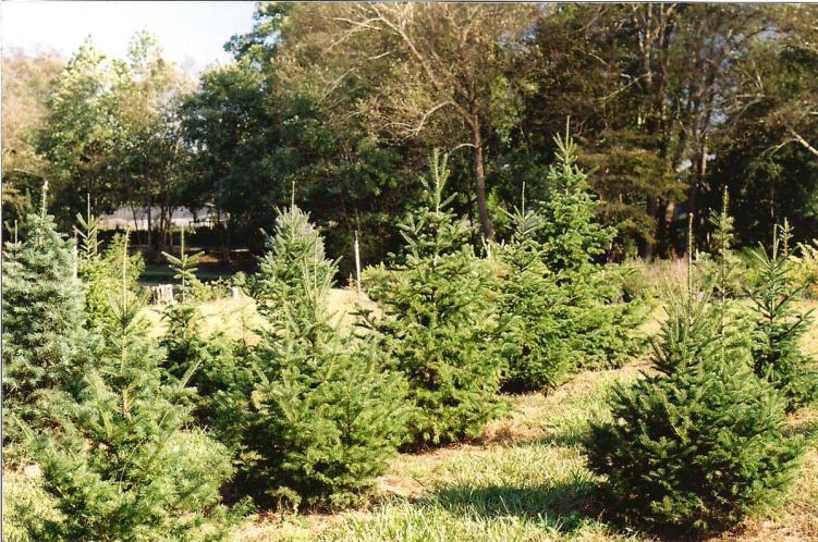 Christmas trees growing at Northlake Christmas Tree Farm and Nursery in Benson, NC.