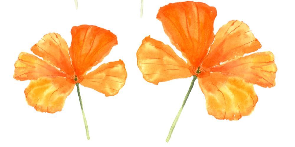 Orange California poppies watercolor