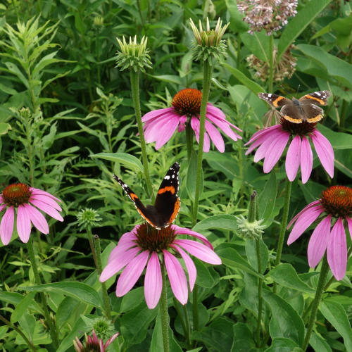 Butterlies and flowers at Aullwood Audobon