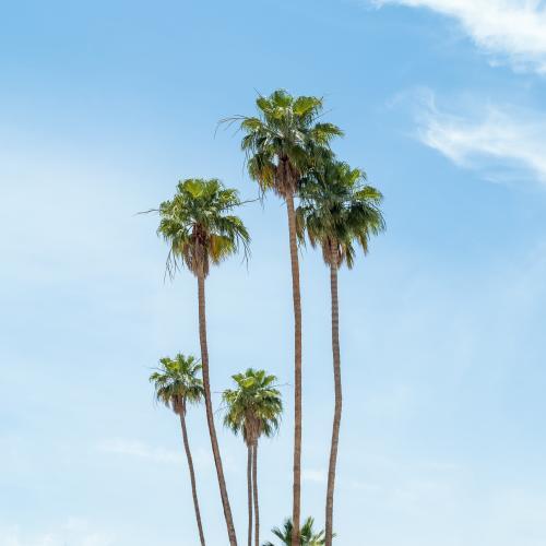 PalmTrees_iStock.jpg