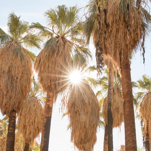 Palm trees and sunshine along the Palm Canyon Trail in Indian Canyons nature preserve