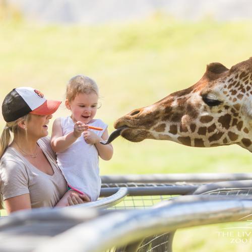 A toddler feeds a giraffe at the Living Desert Zoo & Gardens