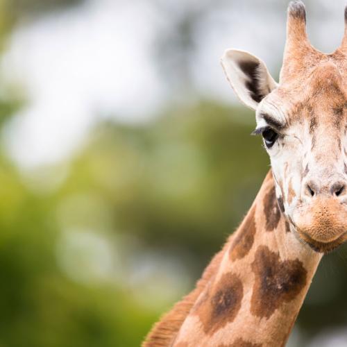 year of the giraffe featured web