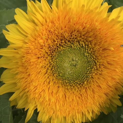 Close Up Teddy Bear Sunflower