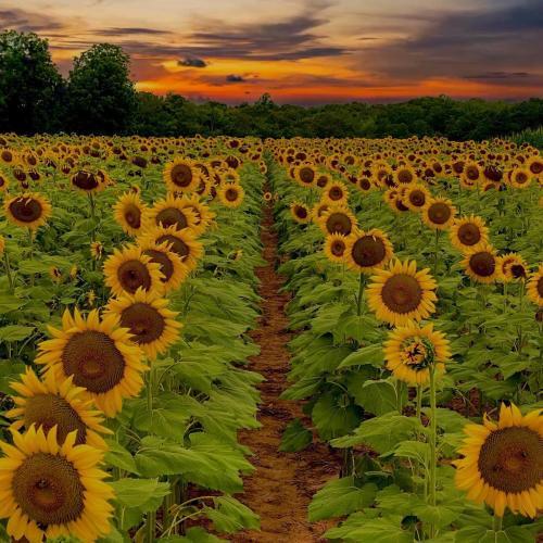 Draper Sunflowers