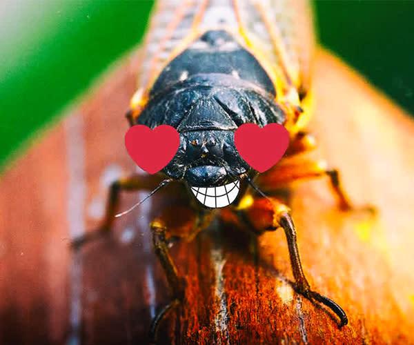 Cicada Celebration