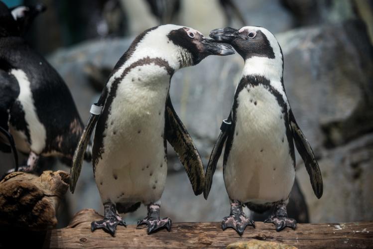 Monterey Aquarium Penguins