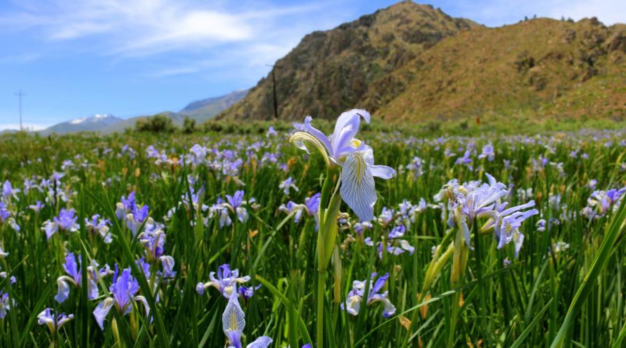 Wild Iris in Walker