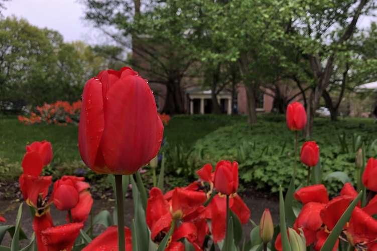 Ten Broeck Mansion tulips