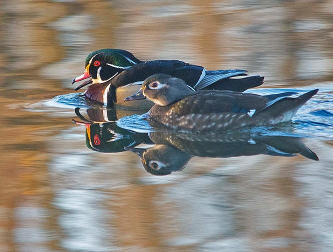 One of 2 mating pair of Wood Duck at Quiet Waters.