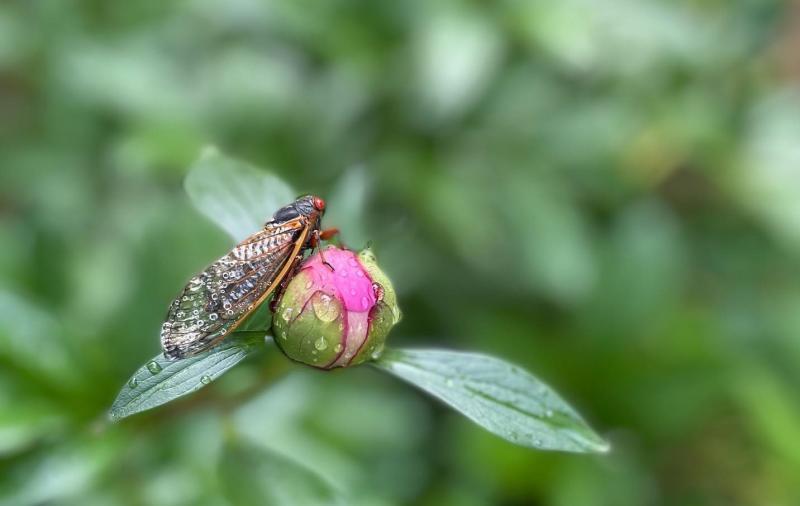 A cicada on a lower bud