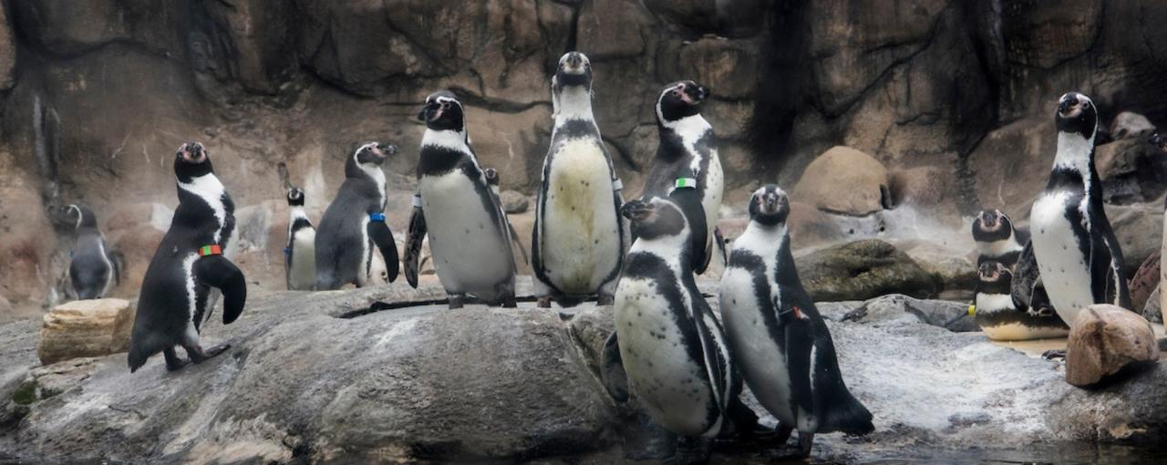 Rosamond Gifford Zoo penguins