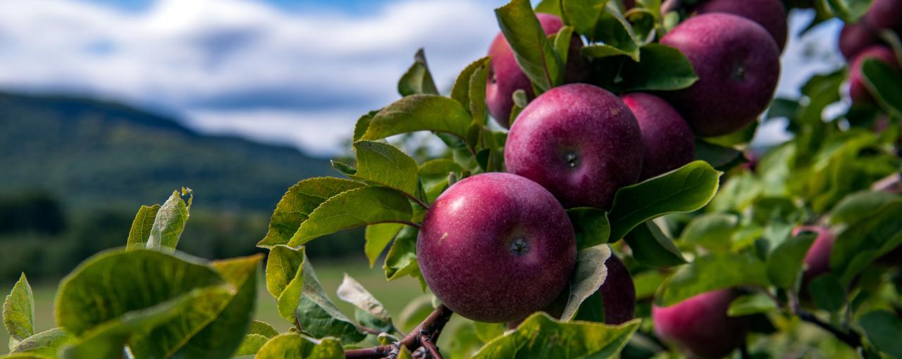 A picture of a bundle of apples on a tree at the Indian Ladder Farm