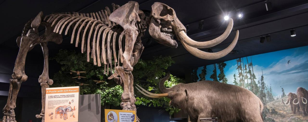 A photo of a skeleton of a mammoth at the Rochester Museum & Science Center