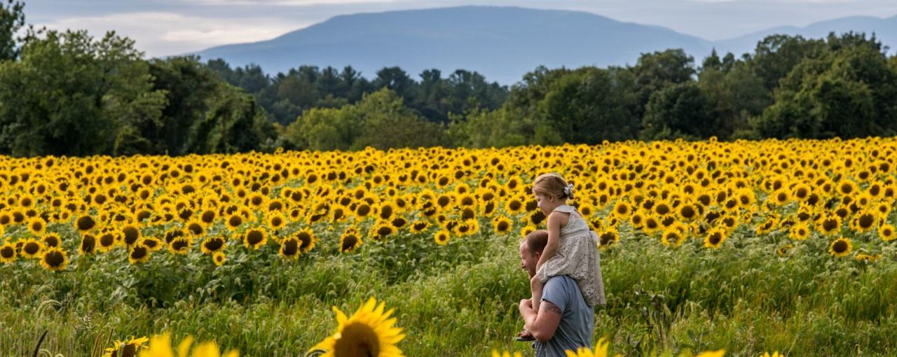 A man with his daughter on his shoulders walks through a sunflower field in Columbia County