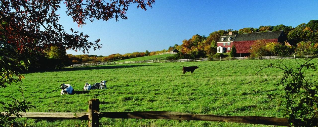 Cows in a field with Old Bethpage Village Restoration in the background
