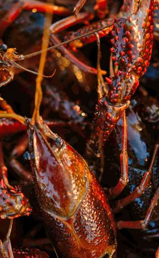 68693053d8 Crawfish | Discover Lafayette Cuisine & Culture