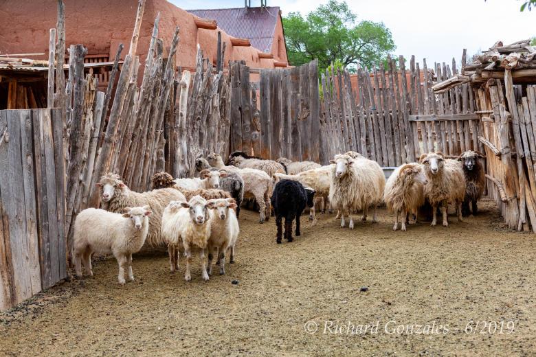 Sheep at Las Golondrinas