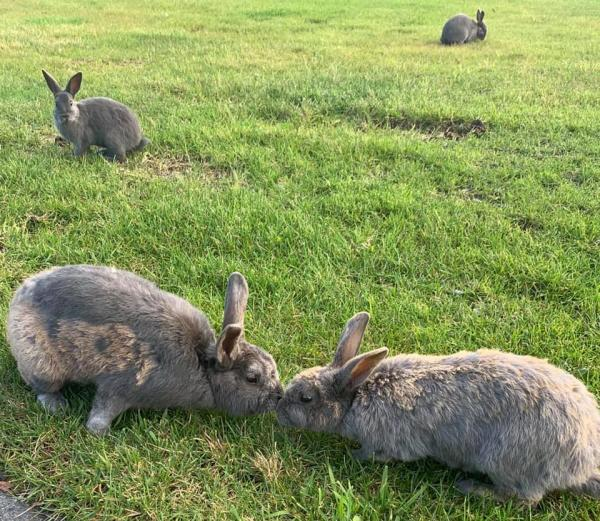 two feral rabbits touching noses; two other rabbits in background