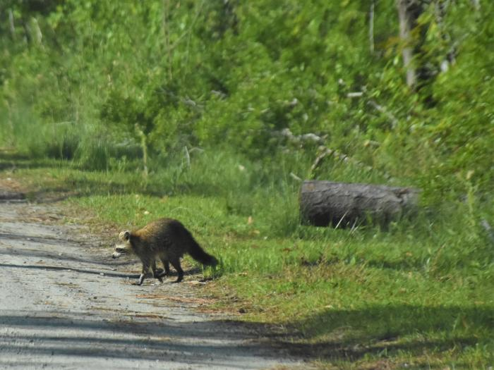 raccoon alligator river wildlife refuge