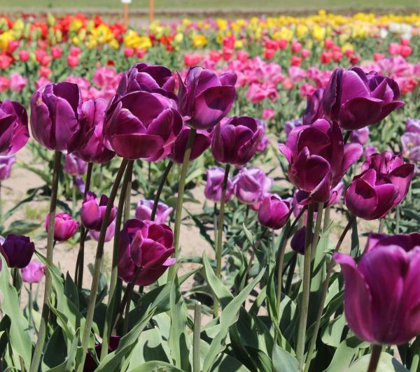 Holland America Flower Gardens